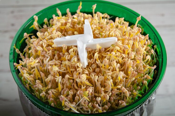 Fully grown mung bean sprouts in a sprout machine.