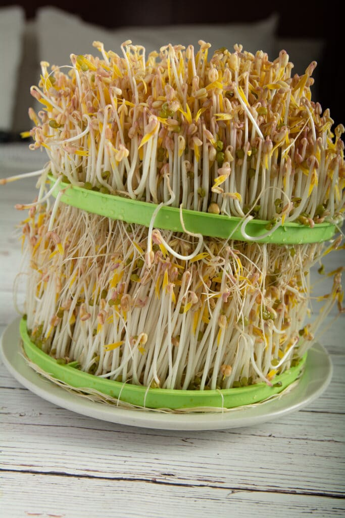 Fully grown mung bean sprouts on two growing trays.