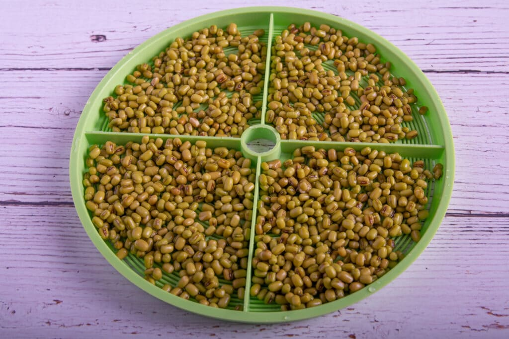 Soaked mung bean seeds on a tray.