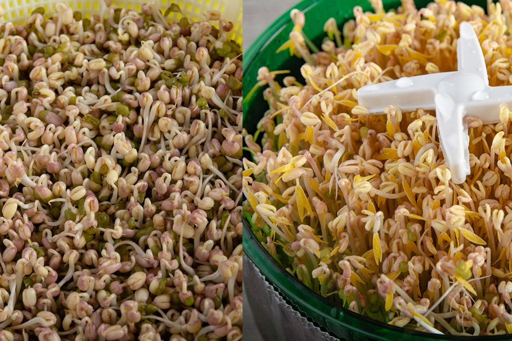 Side by side pictures of the two methods of growing sprouts on day 4.
